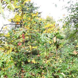 Oregon-Grape-root-Mahonia-aquifolium-Berberis-aquifolium