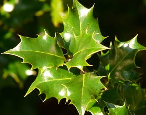 m-folia-holly-leaves